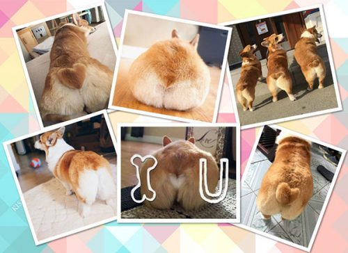 electric buttock of corgi