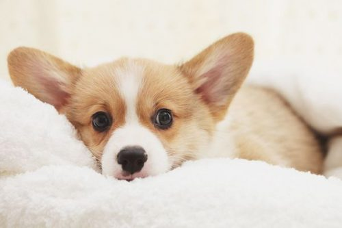 little corgi