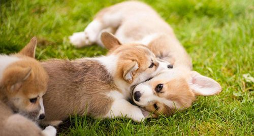 little corgis