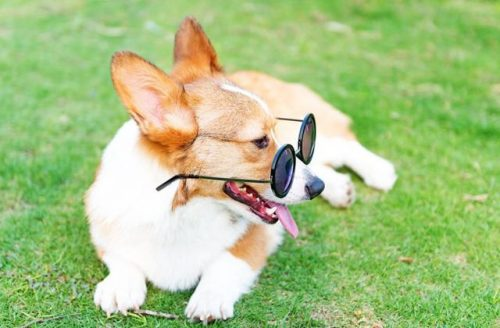 corgi with sunglass
